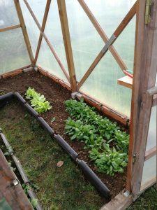 Feldsalat im Gewächshaus